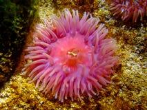 Coral del maleficio Imágenes de archivo libres de regalías