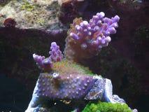 Coral del SPS de Valida Fotos de archivo libres de regalías