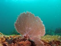 Coral del ventilador Fotografía de archivo