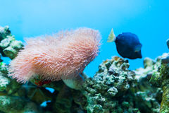 Coral detail in aquarium. And tropical fishes swimming Royalty Free Stock Photos