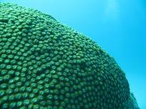 Coral, Diploastrea Imagen de archivo