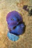 Coral Discosoma blått Arkivbild