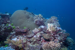 Coral Diversity Fotografia de Stock Royalty Free