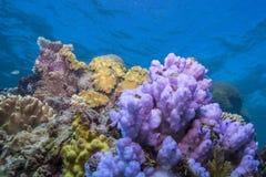 Coral Diversity Imagem de Stock