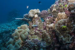 Coral Diversity Imagens de Stock Royalty Free