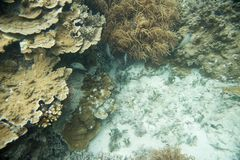 Coral Diversity with Angelfish: Fiji Royalty Free Stock Images