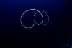 Coral do chicote no Mar Vermelho fotografia de stock royalty free