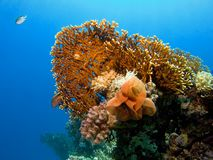 Coral do incêndio Fotos de Stock