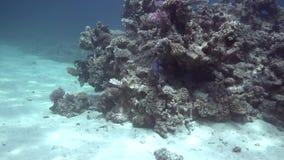 Coral do maculosus n do Pomacanthus da esquatina de Yellowbar do Mar Vermelho Sudão video estoque