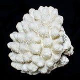 Coral do mar do coral ou do Acropora de Staghorn Fotos de Stock Royalty Free