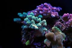 Coral do sps do verde de Stylophora Imagens de Stock