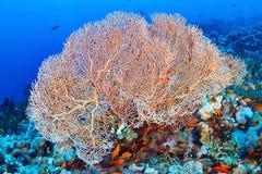 Coral do ventilador de Hickson fotografia de stock