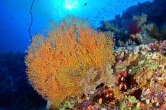Coral do ventilador de Hickson imagens de stock royalty free