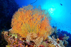 Coral do ventilador de Hickson fotos de stock royalty free