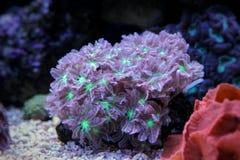 Coral dos pólipos da luva - Clavularia Fotografia de Stock Royalty Free