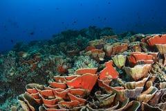 Coral duro Imagens de Stock