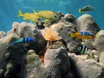 Coral duro e peixes coloridos Imagens de Stock Royalty Free