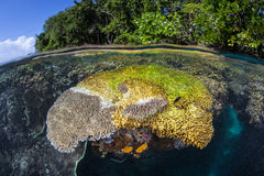 Coral Dying of Disease. A table coral (Acropora sp.) is dying as a disease kills its polyps in the Solomon Islands Royalty Free Stock Photo