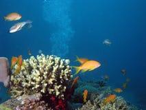 Coral e Anthias fotos de stock royalty free