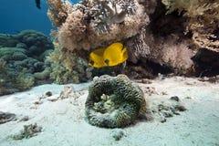 Coral e butterflyfish fotografia de stock