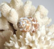 Coral e escudo fotos de stock royalty free