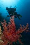 Coral e mergulhador Imagem de Stock