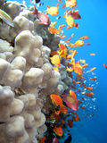 Coral e peixes Foto de Stock Royalty Free