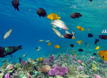 Coral e peixes no Mar Vermelho Imagem de Stock Royalty Free