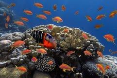 Coral e peixes no Mar Vermelho Foto de Stock