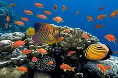 Coral e peixes no Mar Vermelho Fotos de Stock Royalty Free