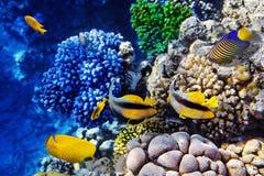 Coral e peixes no Mar Vermelho. Egipto Imagem de Stock
