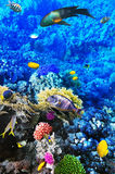 Coral e peixes no Mar Vermelho. Egito, África. Fotografia de Stock
