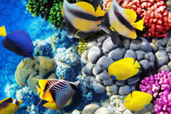 Coral e peixes no Mar Vermelho. Egito, África. Imagens de Stock Royalty Free