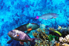 Coral e peixes no Mar Vermelho. Egito, África. Imagem de Stock