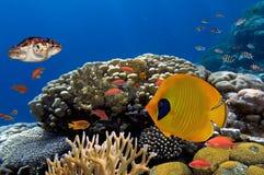 Coral e peixes no Mar Vermelho Egypt Fotos de Stock Royalty Free