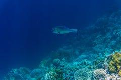 Coral e peixes no Mar Vermelho Mar de Egito Foto de Stock
