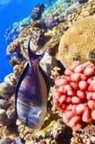 Coral e peixes no Sea.Fish-surgeon vermelho. Imagens de Stock Royalty Free