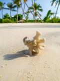 Coral em uma praia da areia em maldives Fotografia de Stock