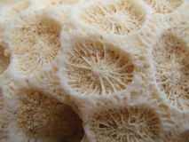 Coral eye Stock Image