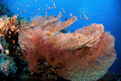 Coral fan Royalty Free Stock Images