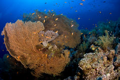Coral fan with school. Of reef fish Stock Photos