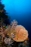 Coral Filipinas de Gorgonia Imagen de archivo