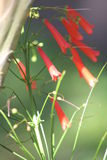 Coral firecracker plant. Wild florida coral firecracker plant in sunlight Royalty Free Stock Photo