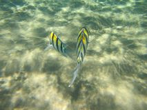 Coral Fish Royaltyfri Fotografi