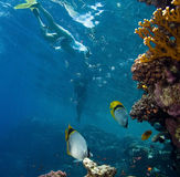Coral and fish. Photo of coral and fish, Red sea Royalty Free Stock Image