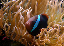 Coral Fish. Tropical coral fish with blue stripe Stock Photos