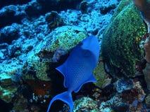 Coral Fish arkivbild