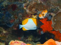 Coral Fish arkivfoton