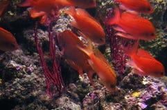Coral fish. Castagnola Rossa (Anthias anthias), Genoa aquarium, Italy Royalty Free Stock Photo