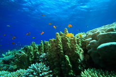 Coral and Fish Royalty Free Stock Photo